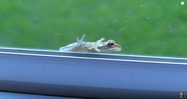 窓にカエル