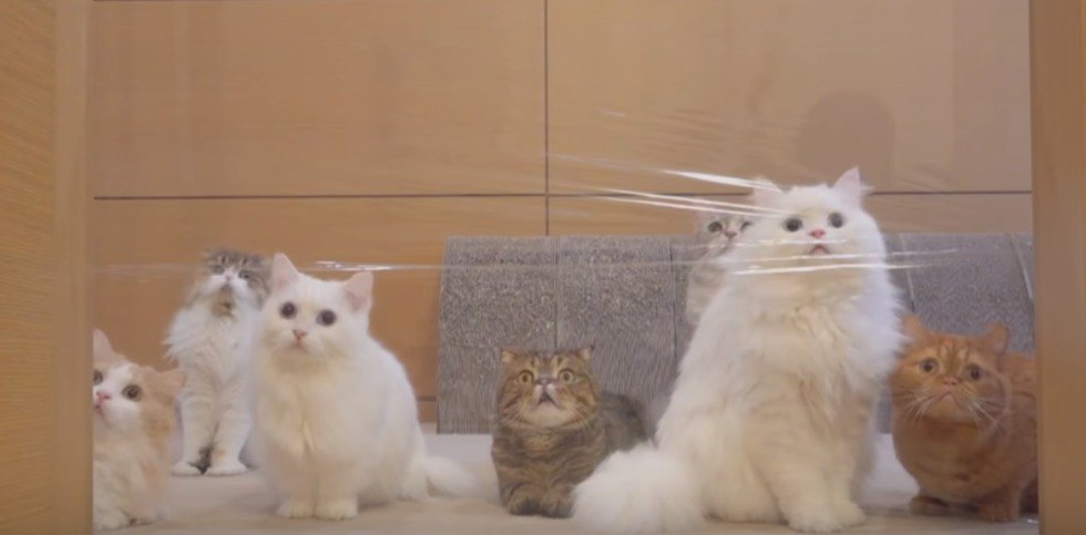 壁の向こうの猫じゃらしを見つめる猫たち