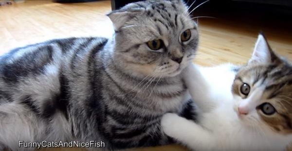 振り向く大人猫