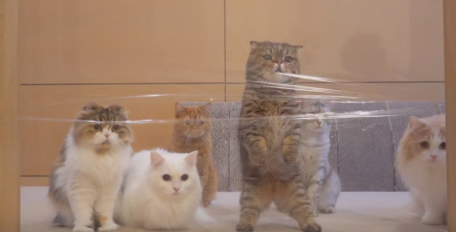 ラップに阻まれる猫