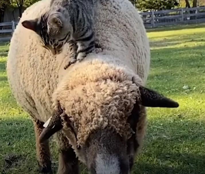 羊にもマッサージ