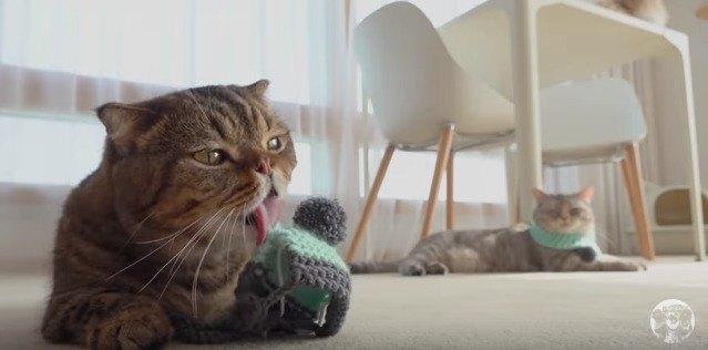 毛糸の帽子を舐める猫