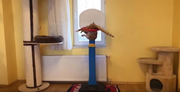 バスケのゴールにハマった猫