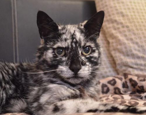 マーブル模様の猫