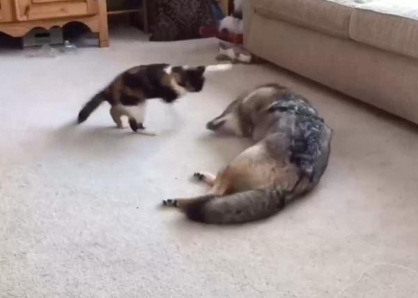 コヨーテと遊ぶ猫