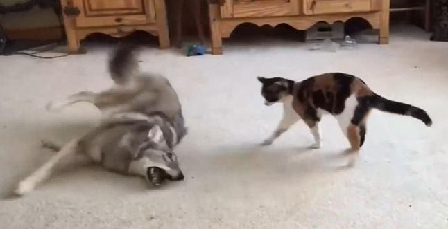 猫とあそびたい狼