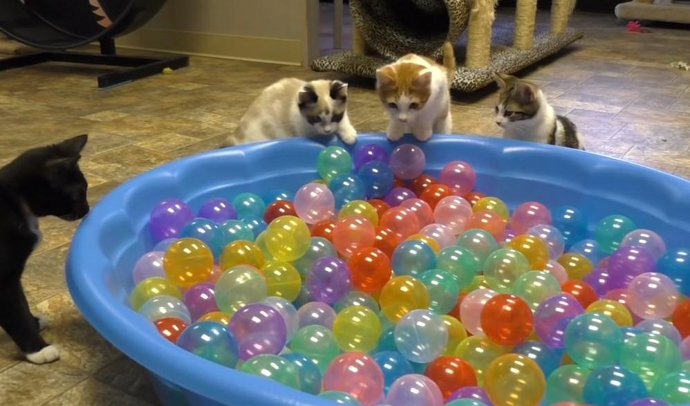 ボールプールに集まる猫