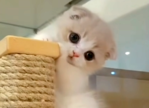 あざとい子猫