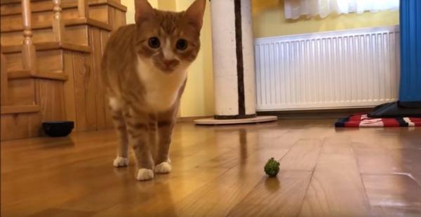 ボールを持ってくる猫