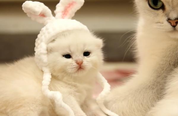 渋い顔をするブリティッシュショートヘアの子猫