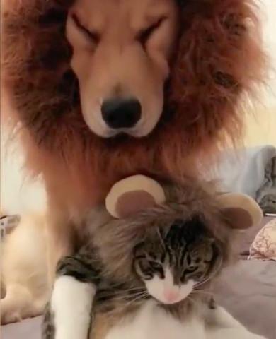 お揃いのライオンのコスプレ