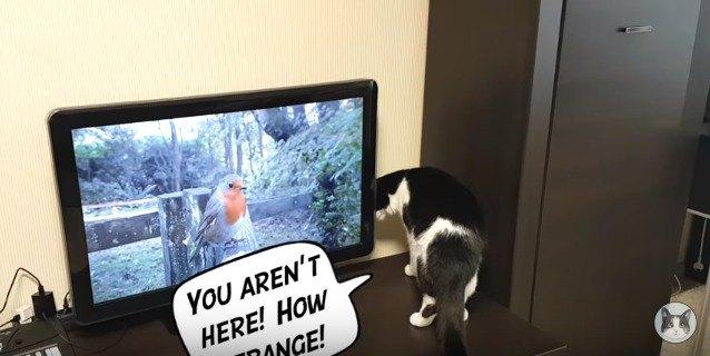 テレビの中の鳥を探す猫