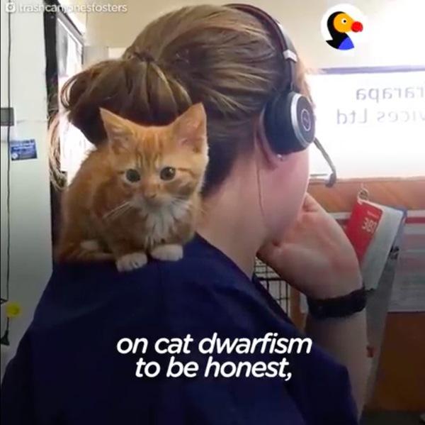 肩乗りする小人症の猫