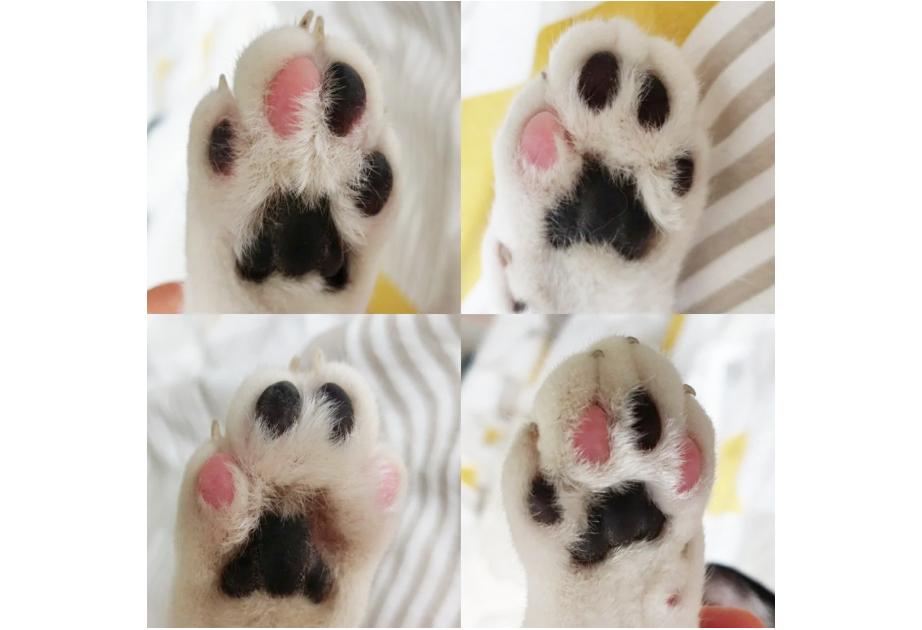 肉球の色が違う猫