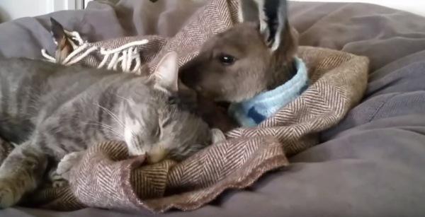 仲良しのカンガルーと猫