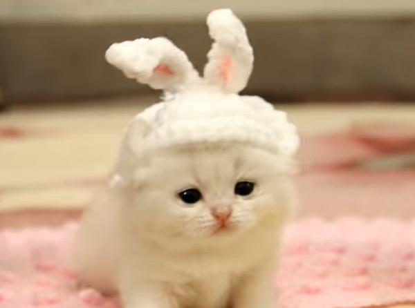 ウサギの耳を付けたブリティッシュの子猫