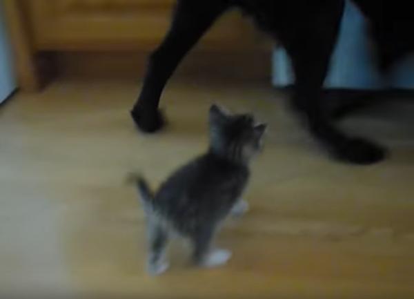 犬にご飯を要求する子猫