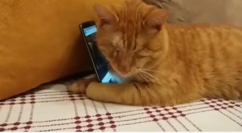 スマホを抱きしめる猫