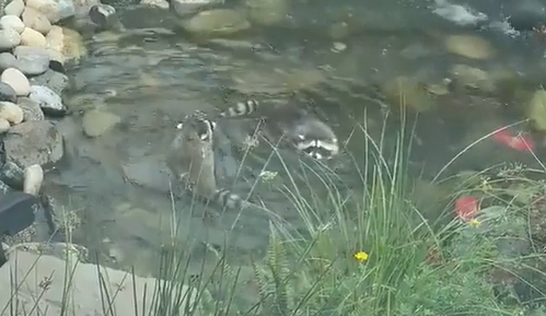 池で泳ぐアライグマ