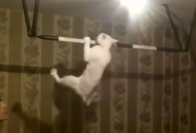 懸垂をする猫
