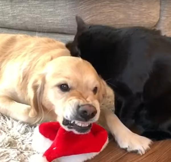 怖い顔をする犬