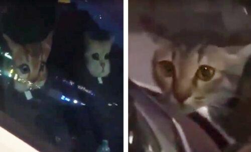 車のカバーに驚く猫