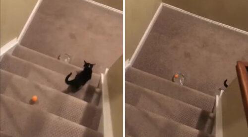 ドミノの最後を決めた猫