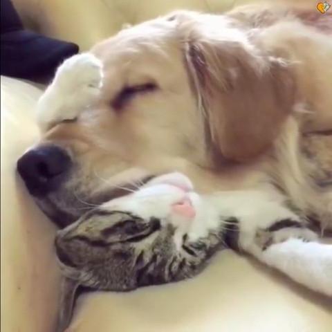 犬の枕になる猫