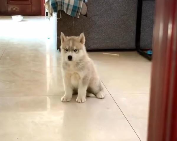 子犬のハスキー