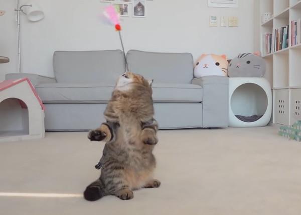 立ち上がり猫じゃらしを見つめる猫