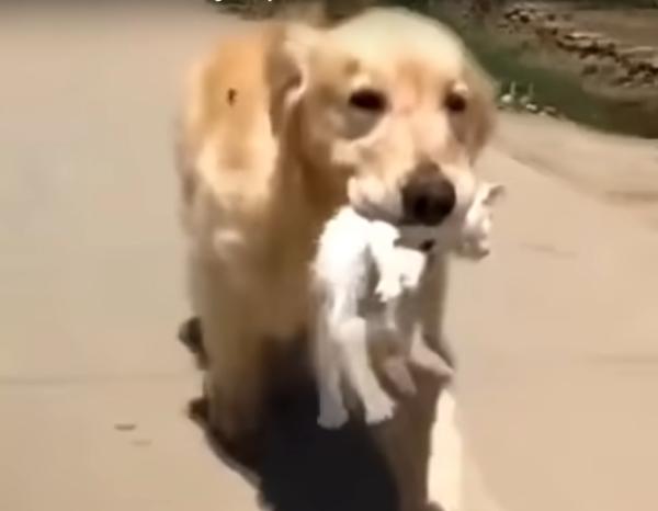 子猫を咥える犬