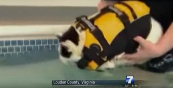 プールに入る猫