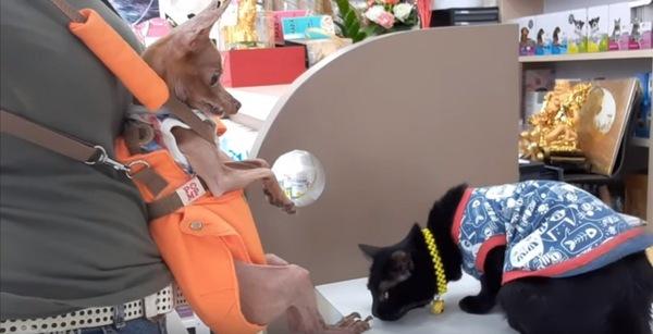 ミニチュアピンシャーの足の臭いを嗅ぐ猫