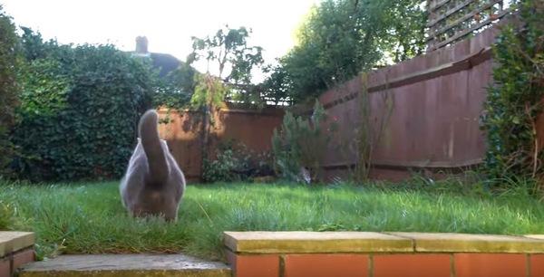 お庭に出たブルーの猫
