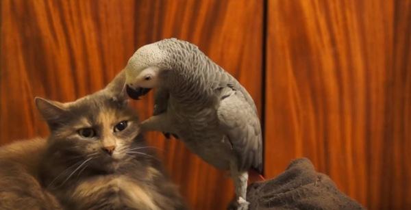 猫に足を乗せるオウム