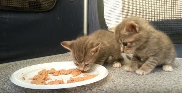 食べている子猫を観察する子猫