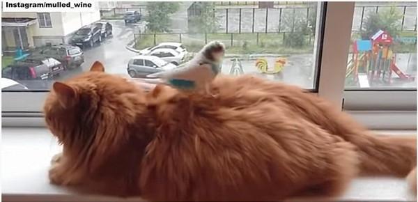 インコをおんぶする猫