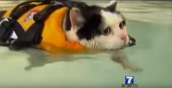 プールで泳ぐ猫
