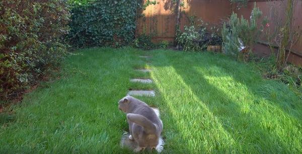 お庭を振り返るブルーの猫