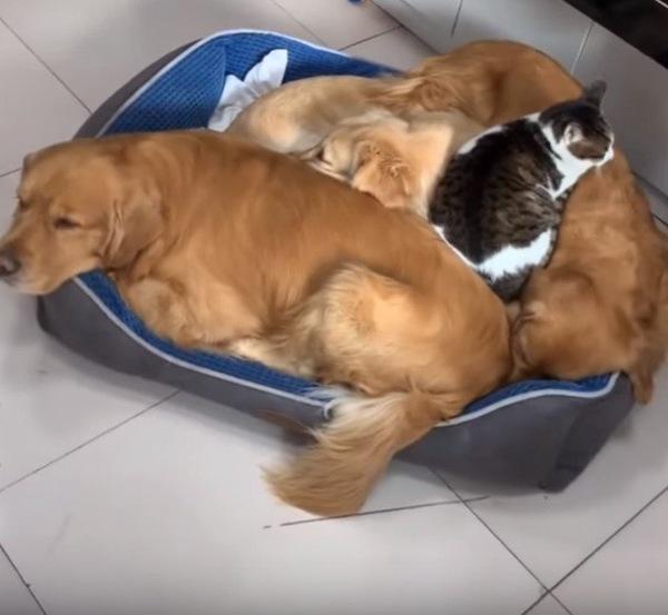 ゴールデンレトリバーに収まる猫