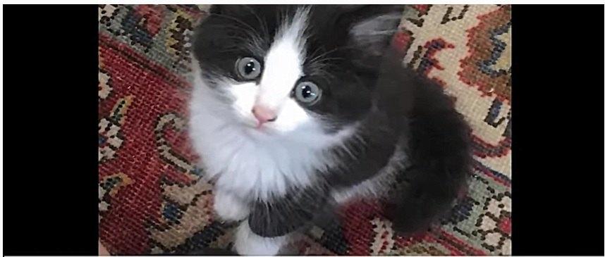 白と黒の子猫