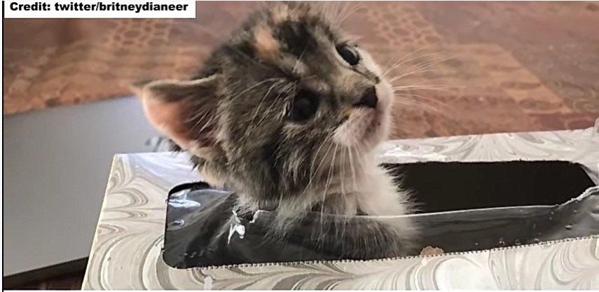ティッシュ箱から顔を出す子猫のシャネル