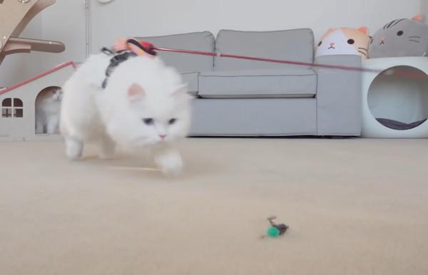 おもちゃに突進する猫