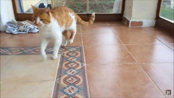 びっこを引く猫