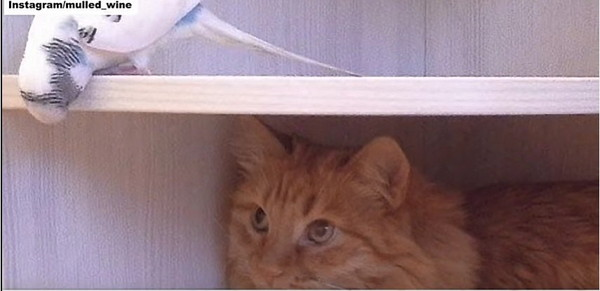 棚の中にいる猫とインコ