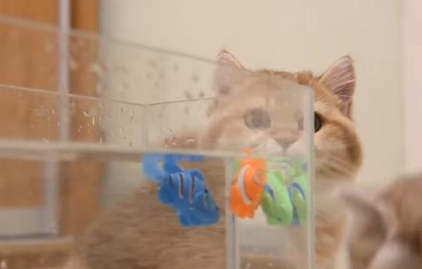 水槽越しに魚のおもちゃを見る猫