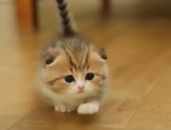 マンチカンの子猫のよちよち歩き