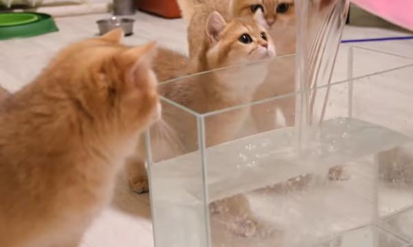 水槽に入れた水を見る猫