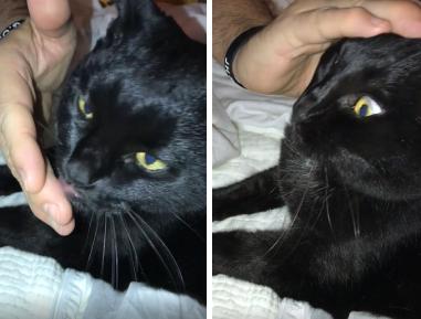飼い主に撫でてもらい顔を洗う猫