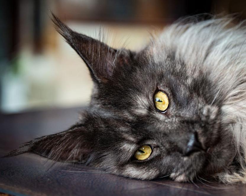 イケメン猫のグラビア風写真
